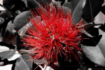 Blume rot an schwarz :-)