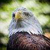 Weißkopfseeadler im Zoo hannover