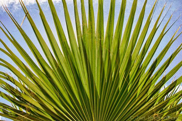 Palmenfächer