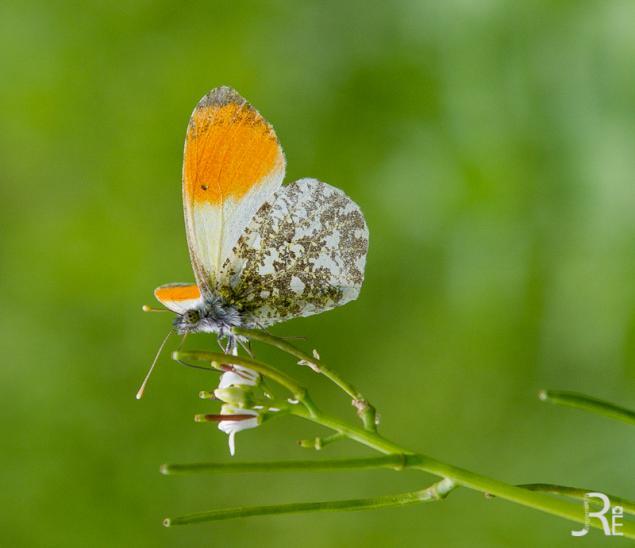 Schmetterling (e) mit dem 24-105L