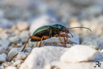 Noch ein Käfer #1