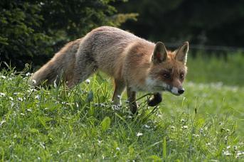 Fox on the run...