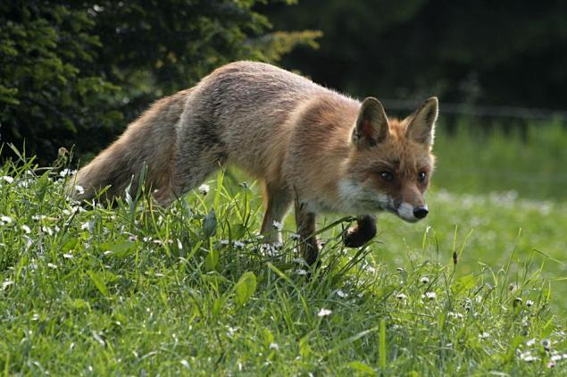 Fox on the run...